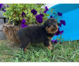 Male and female Rottweiler pups for sale