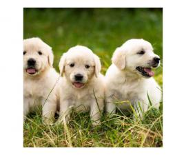 7 weeks old Golden retriever puppies for sale.