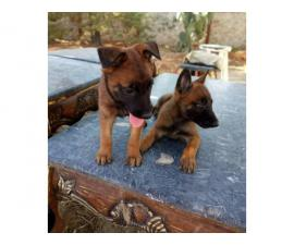 2 females Belgian Malinois puppies for sale