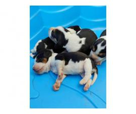 Adorable tricolor beagle puppies for sale