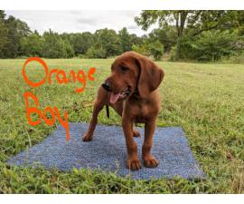 3 boys Redbone Coonhound puppies available