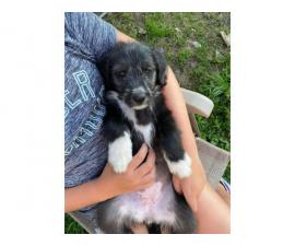 5 old english sheepdog mix puppies looking to find good homes