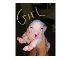 6 weeks old bullboxer pit puppies