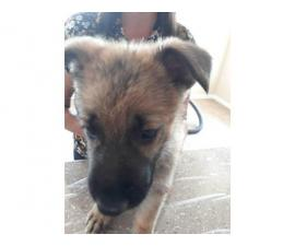 Male and female sable german shepherd puppies for sale