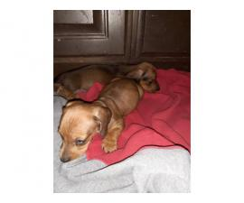 Two red males lovely dachshund for sale