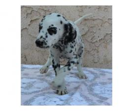 Two lovely dalmatian puppies  for sale