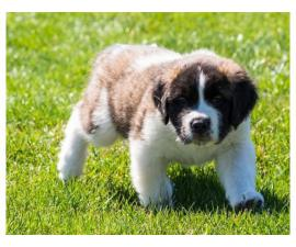 Two male and female Saint Bernard lovely puppies for sale