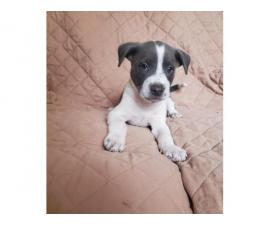 2 males and 1 female American Pit Bull Terrier puppies up for sale