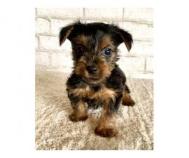 Two lovely Yorkshire Terrier puppies for sale
