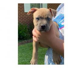 2 females American bully puppies left