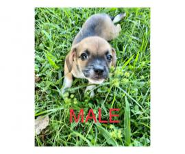 3 Beaglebull puppies ready for their new homes