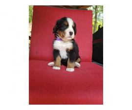 AKC registered Bernese Mountain Dog puppies