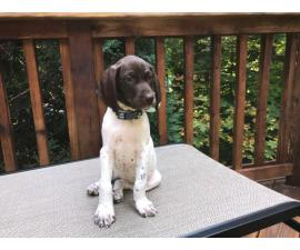 Two cute liver GSP female puppies available for adoption