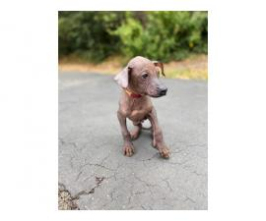 3 Xoloitzcuintli puppies available