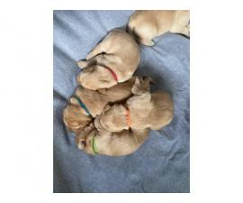 4 beautiful yellow lab puppies for sale