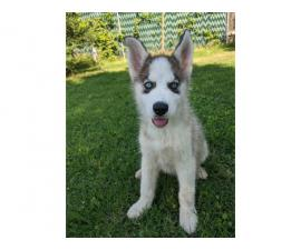 Two beautiful husky puppies for sale