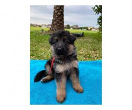 3 German Shepard  puppies ready for their new homes