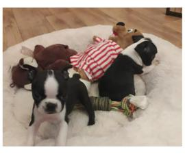 4 Boston Terrier Needs Home