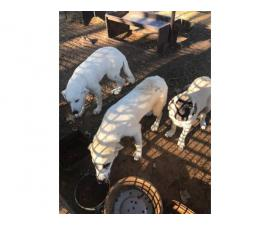 Males and a female Livestock's Guardian Puppies
