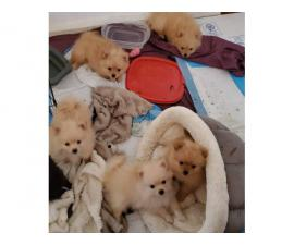 5 lovely soft and fluffy pomeranian puppies for sale