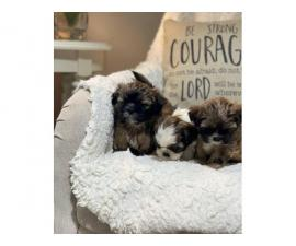 5 Shihtzu Tzu puppies ready to rehome
