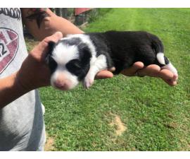 2 boys, and 4 girls border collie puppies
