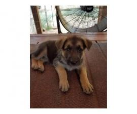 6 weeks old AKC Registered German Shepherd Puppies