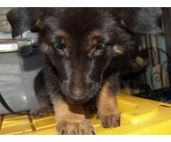 6 weeks old AKC Registered German Shepherd Puppies