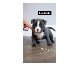 Blue and white female American bully puppies