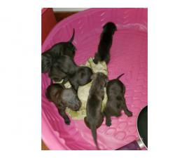 Black and brindle cane corso puppies