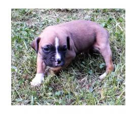 Playful Boxer puppies for sale CKC Registered