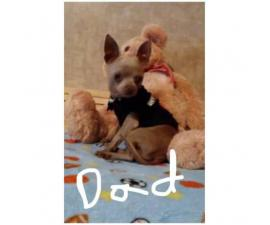 Extra small chihuahua puppies ready for their forever homes