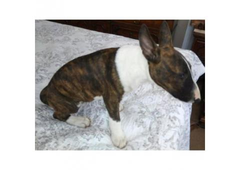 One brindle Female Miniature Bull Terrier puppy with Full Registration AKC papers