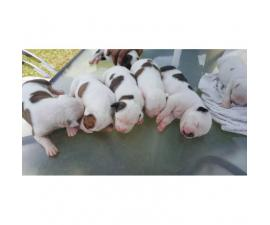 American bulldog puppies for sale - 4 beautiful females left