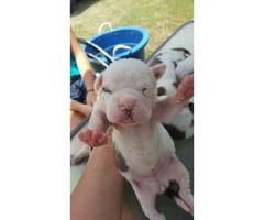 American bulldog puppies for sale - 4 beautiful females left