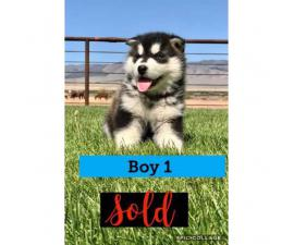 4 beautiful CKC registered Alaskan Malamute puppies