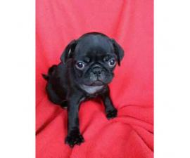 4 Pug puppies for rehoming