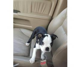 3 month old Male Boston terrier puppy