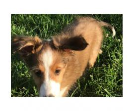 Sheltie dogs for sale