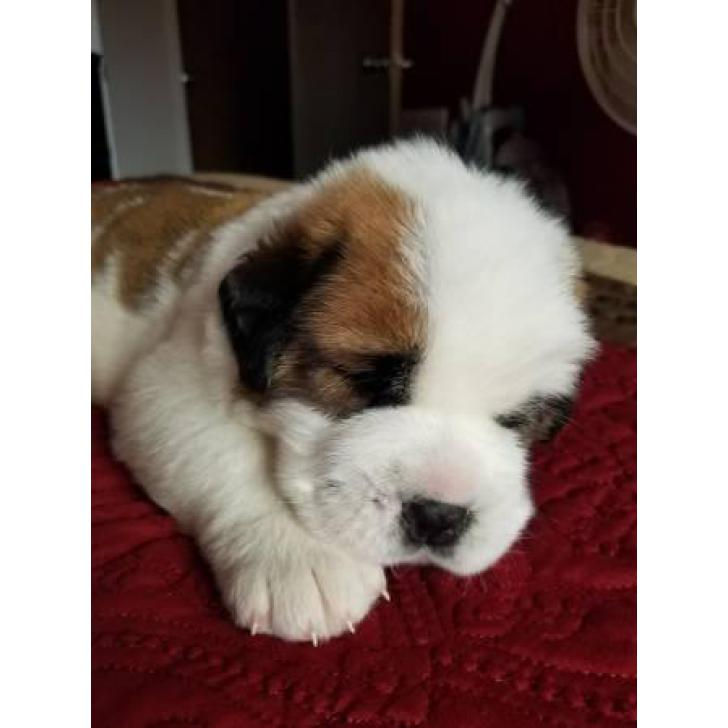 Saint Bernard Puppies Up For Adoption In Denver Colorado Puppies For Sale Near Me
