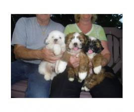 Lhasa Apso puppies Vet Checked