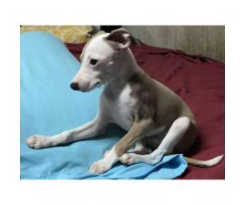 Italian greyhound puppy for sale