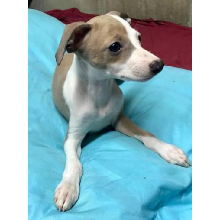 Italian Greyhound Puppy For Sale In New York New York Puppies For Sale Near Me