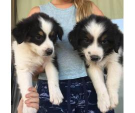 Purebred registered Aussie puppies ready for to find their new homes