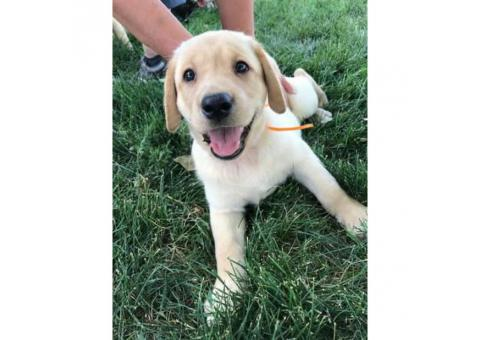Labrador Retrivier Full Bred puppies
