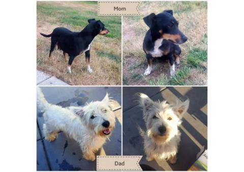 west highland terrier for sale near me 11 weeks old west highland terrier puppies in chicago 3033