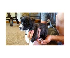 Hypoallergenic west highland white terrier mix puppy