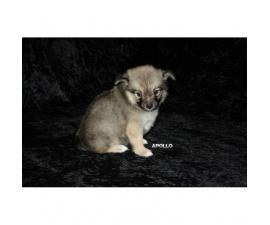 3 Adorable Pomchi puppies ready for rehoming