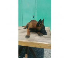 Ranch Raised Belgian Malinois for Sale