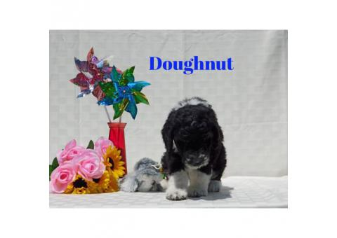 10 beautiful Aussie Doodle Puppies for sale